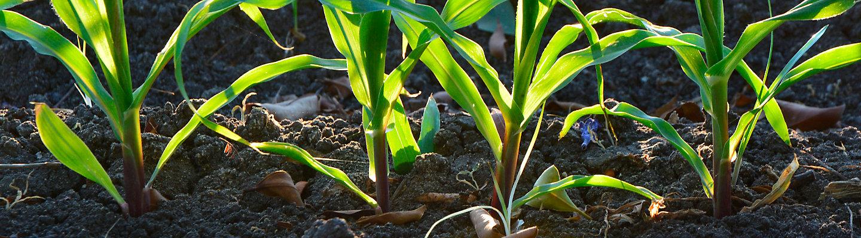 Maiz creciendo