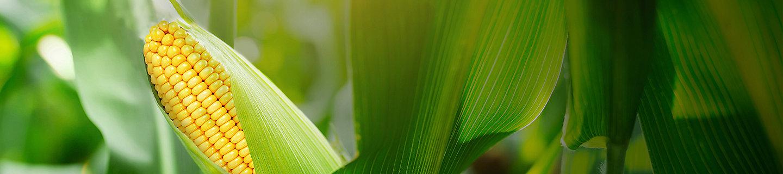 PPP de cultivo de maiz