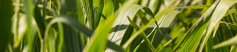 Primer plano de cultivo de maiz
