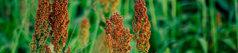 Cultivo de sorgo
