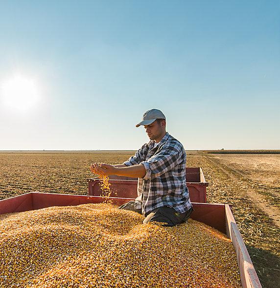 Sprawdź naszą ofertę kukurydzy na ziarno.