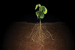 Soybean plant and roots