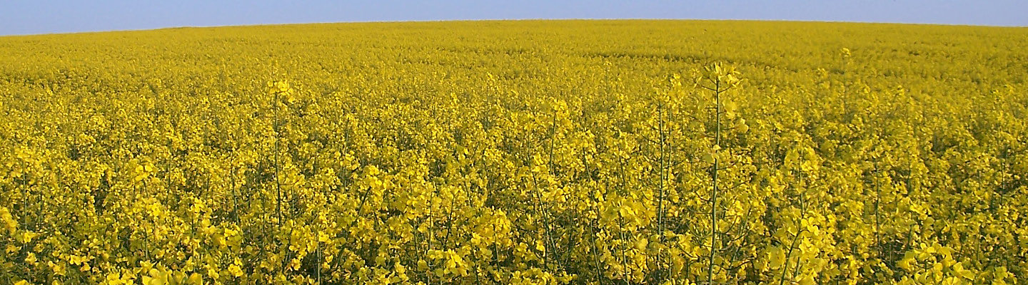 oilseed rape in flower