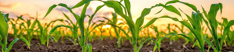 P7515 - kukurydza, mieszaniec ziarnowy-kiszonkowy.