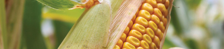 P8521 - kukurydza