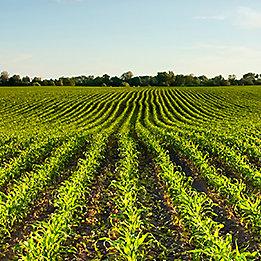 P8707 - kukurydza na ziarno I kiszonkę.