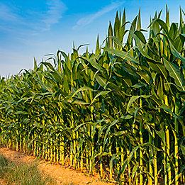 P8816- kukurydza na ziarno I kiszonkę.