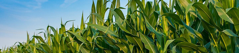 P8816 - kukurydza na ziarno I kiszonkę.