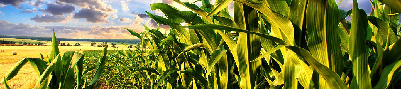 P8888 - kukurydza