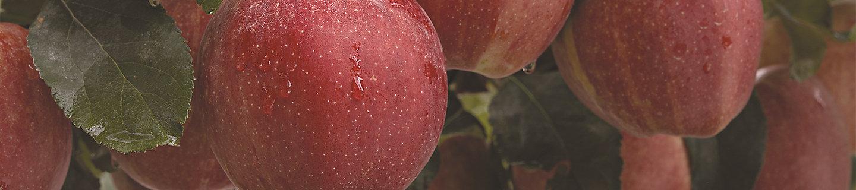 elma yakından