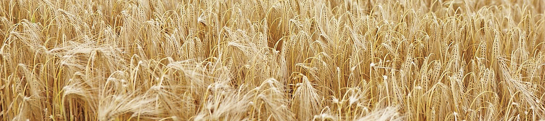 buğday tarla