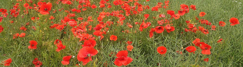 poppy in oilseed rape
