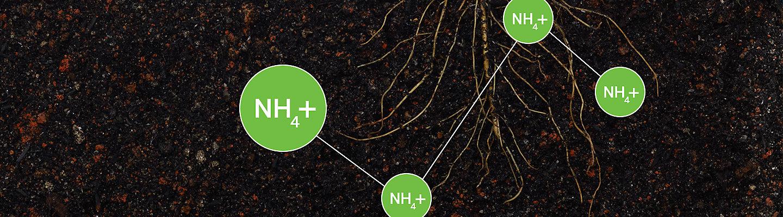 Ammonium graphic