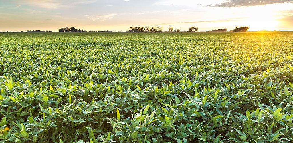 Campo atardecer con cultivo de campo de maíz