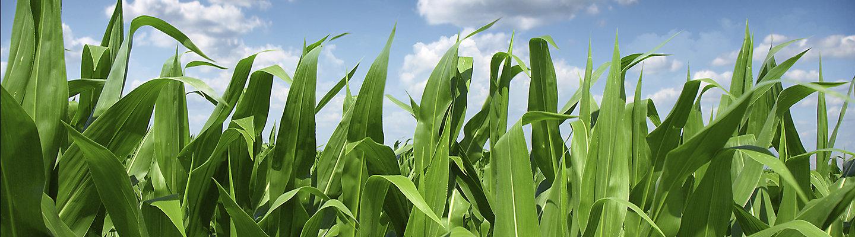 Zaprawy nasienne i inokulanty