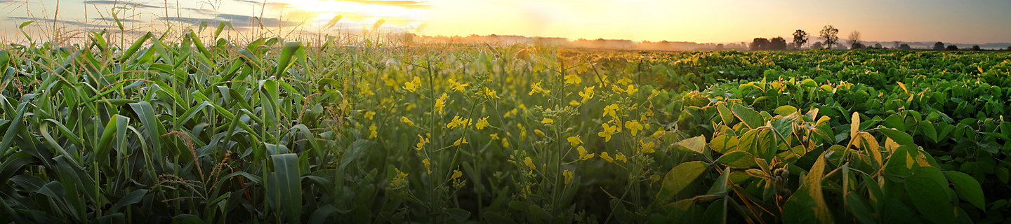 Blended image of corn, canola and soybean crops