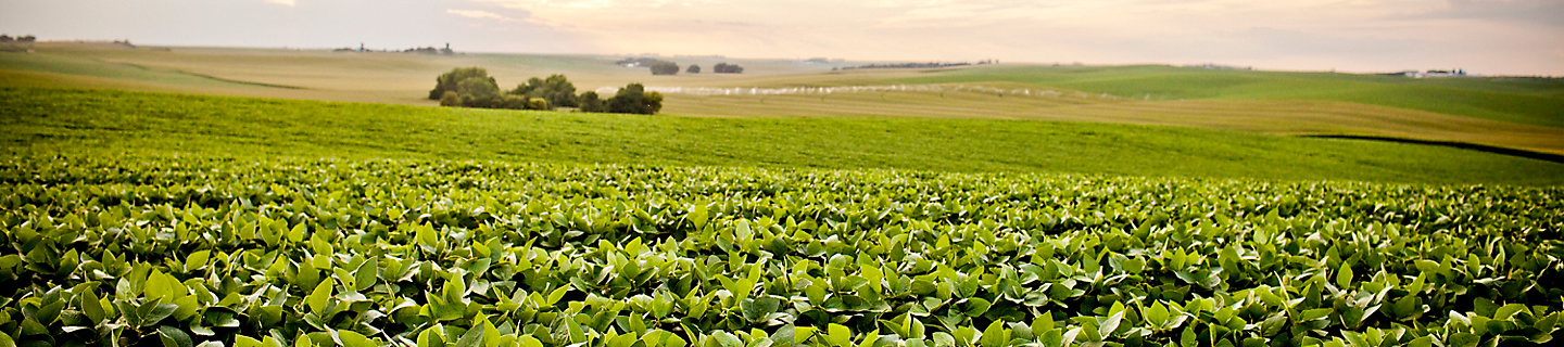 Image of a soybean field