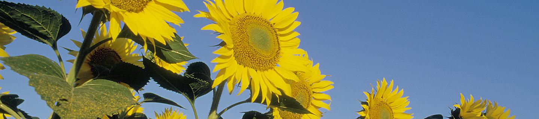 Желтые цветы пподсолнечника