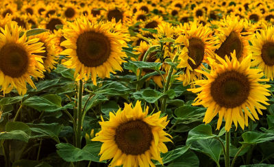 Image of sunflowers in field