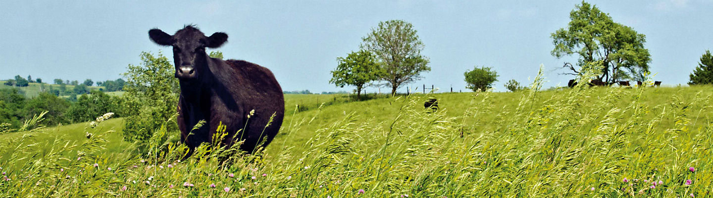 Angus in Pasture