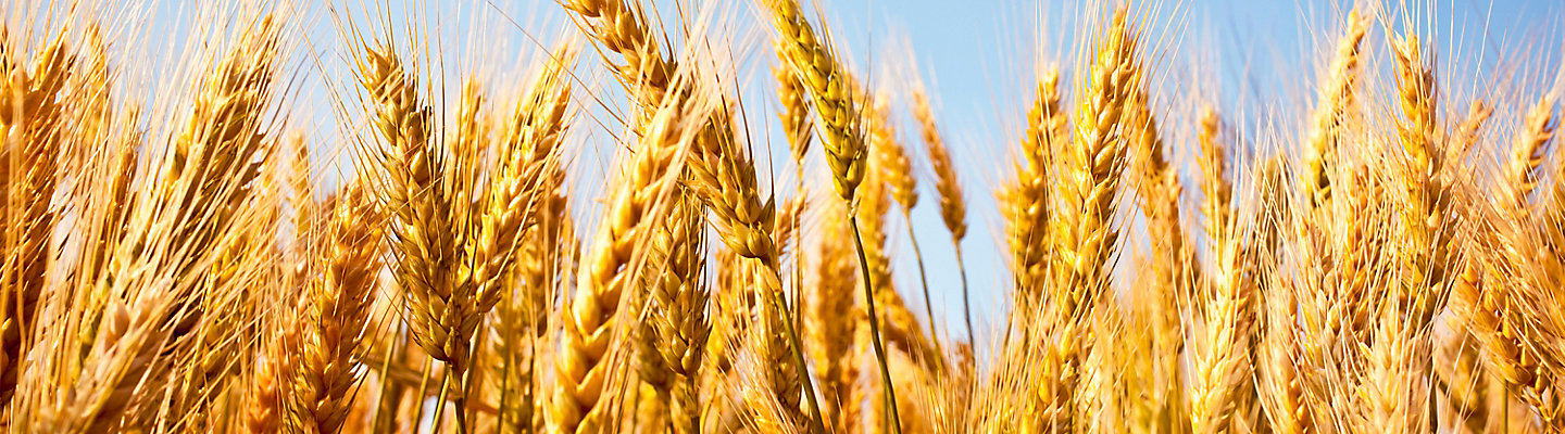 Image of wheat field close up