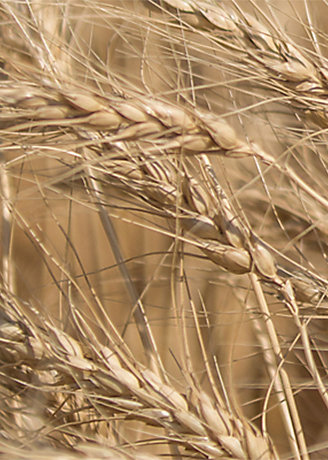 Wheat stalk close-up