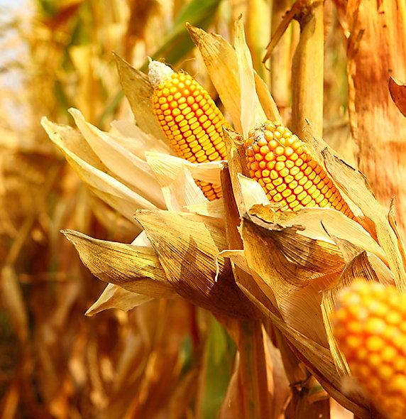 Kukurydza na ziarno od Pioneer.