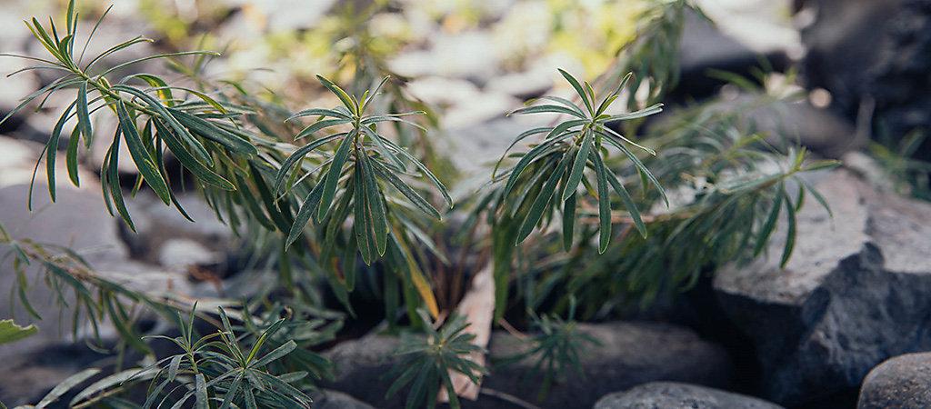 leafy spurge growing