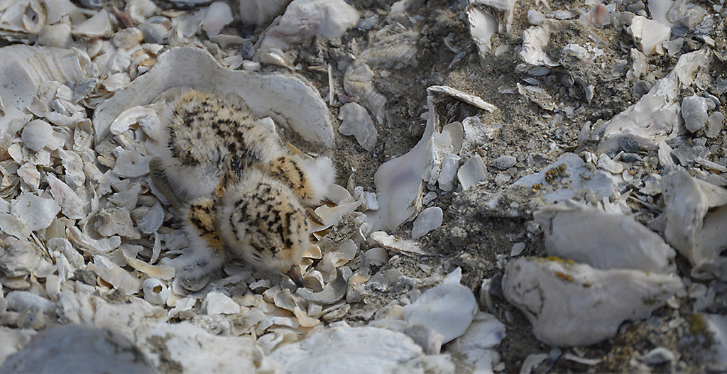 Least Tern chick on Tern Town island