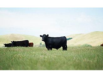 Black cow grazing