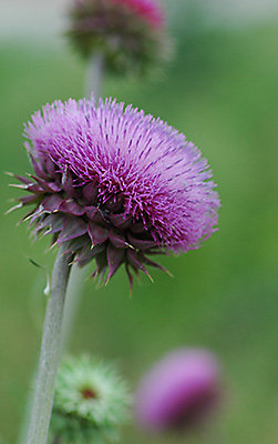 Close up image of biennial thistle