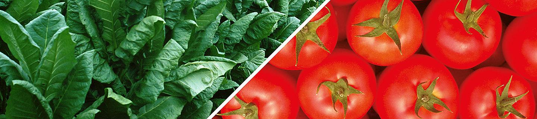 Tabacco e Pomodoro