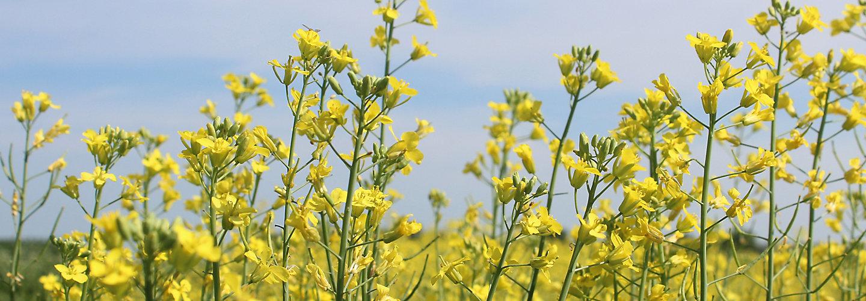 IMG_canola-field-in-bloom-1_beauty-063-1