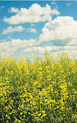 Image of Canola and the sky