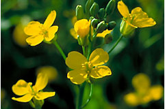 Closeup of canola flower