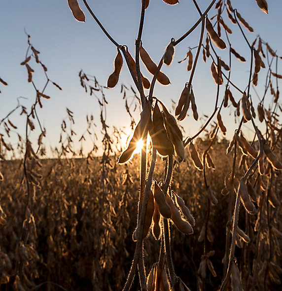 Harvest soybeans