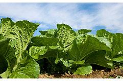 cole-crop-in-field-1_beauty_850pix