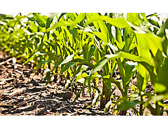 Close up of early corn