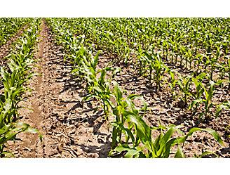 Early season corn field - close up