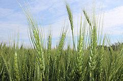 Wheat field early season