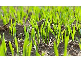 emergence-rice-field-close-up-1_beauty_1_64-1