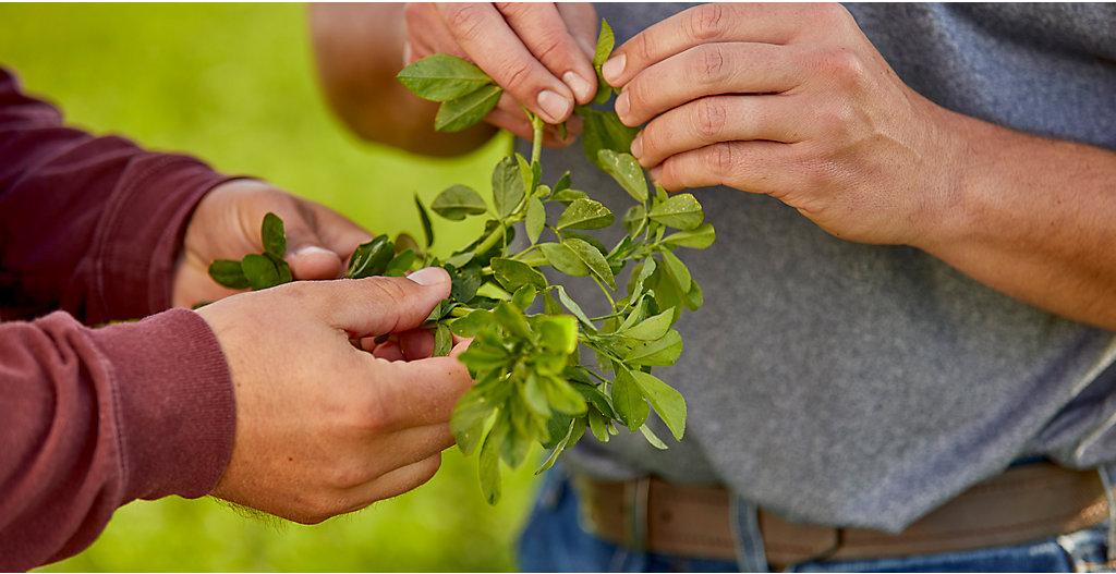 Inspecting alfalfa