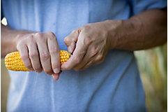 Inspecting corn cob