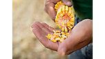 Inspecting corn kernels