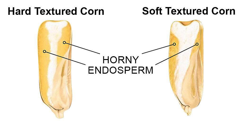 Horny and Endosperm graphic