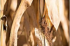 Harvest corn field