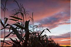 Corn tassles in sunset sky