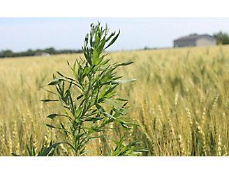 Kochia in wheat field
