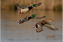 Mallard ducks flying above a lake