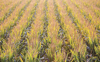 mature-corn-tassles-in-field-1